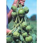 Tomatillo Cisineros